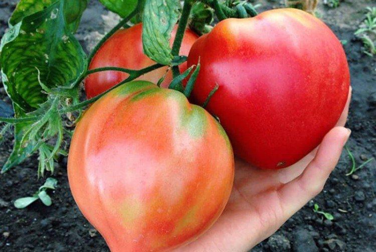 Бычье сердце - Среднеспелые сорта томатов для Подмосковья