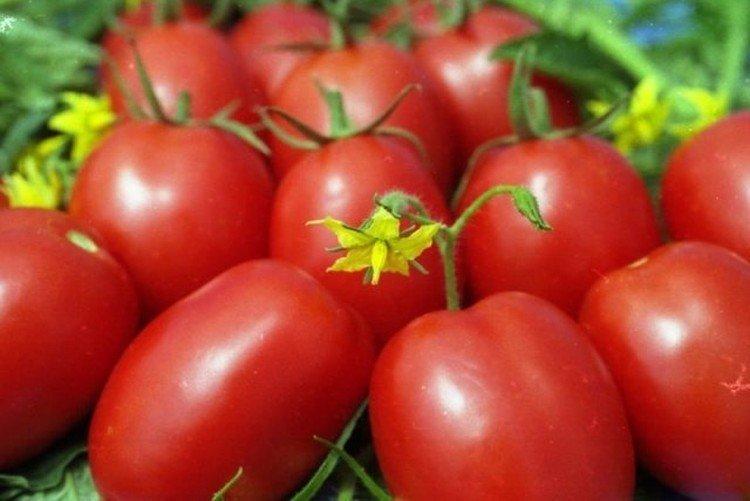 Фитоус - Среднеспелые сорта томатов для Подмосковья