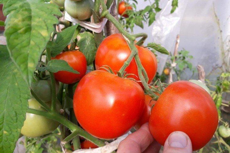 Хороший Краснобай - Поздние сорта томатов для Подмосковья