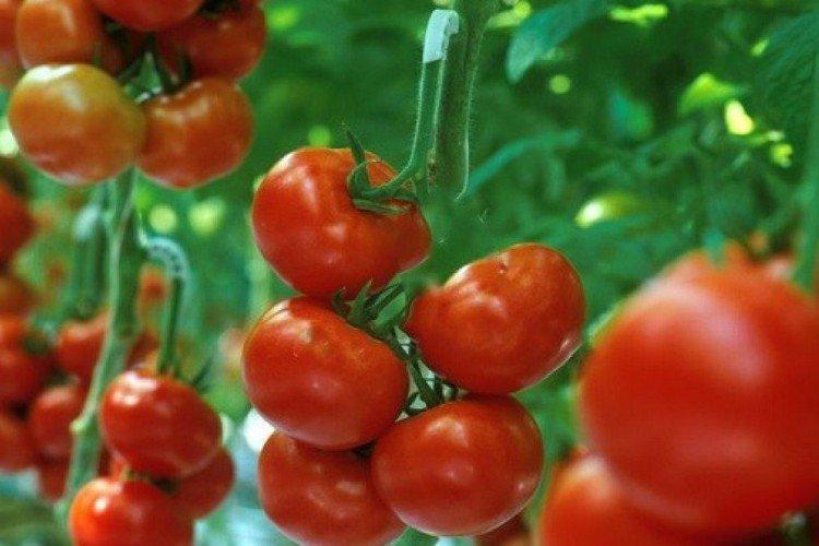 Биатлон - Лучшие сорта томатов для открытого грунта в Подмосковье