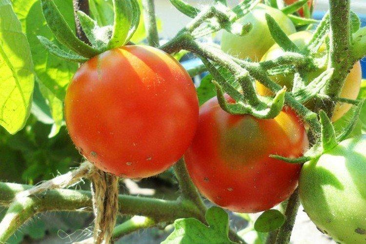 Анжелика - Лучшие сорта томатов для открытого грунта в Подмосковье