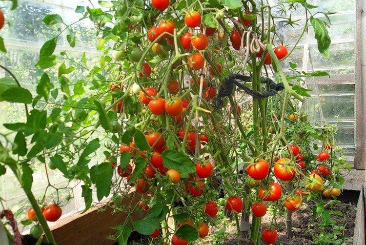 Петергоф - Лучшие сорта томатов для открытого грунта в Подмосковье
