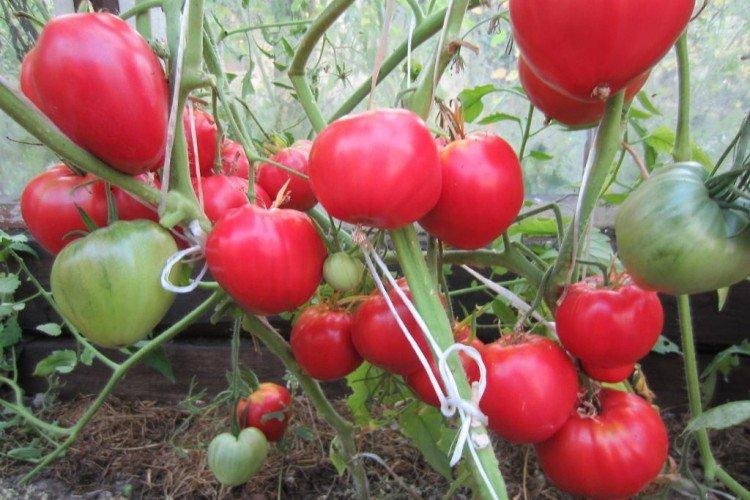 Данко сердцевидный - Лучшие сорта томатов для открытого грунта в Подмосковье