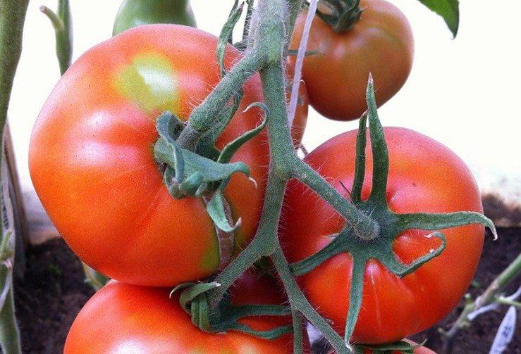 Тамара - Лучшие сорта томатов для открытого грунта в Подмосковье