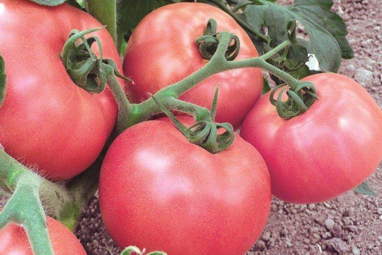 Чудо земли - Сорта томатов для теплиц из поликарбоната