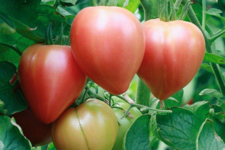 Розовый спам - Розовые сорта томатов для теплицы