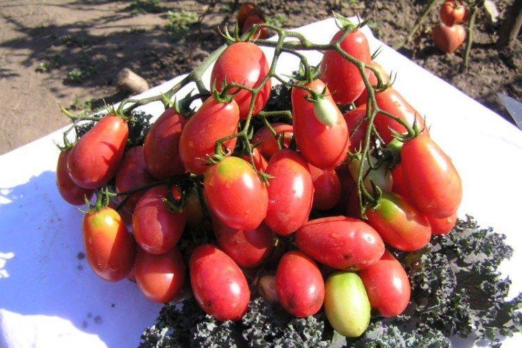 Розовый изюм - Розовые сорта томатов для теплицы