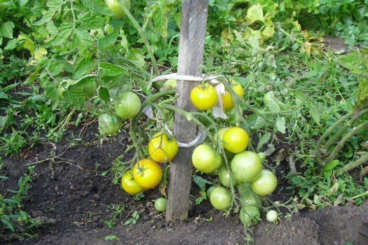 Янтарный 530 - Низкорослые сорта томатов