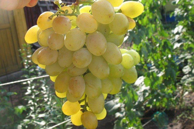 Восторг - Ранние сорта винограда