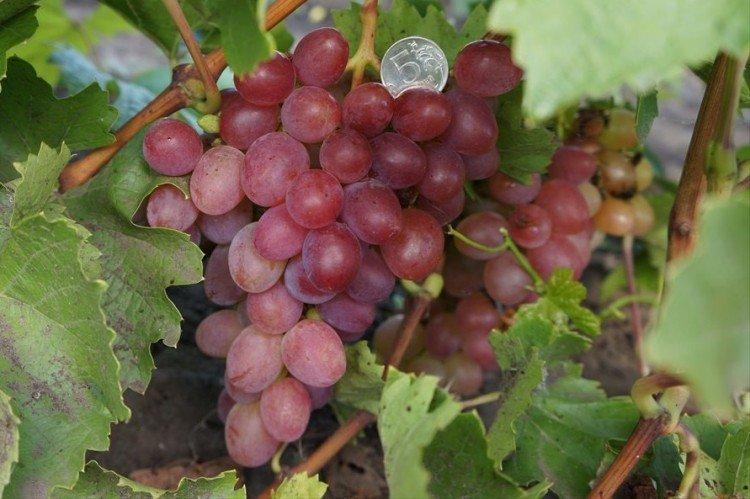 Азалия - Ранние сорта винограда
