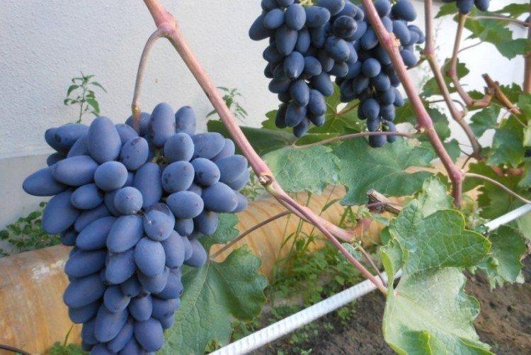 Атос - Ранние сорта винограда