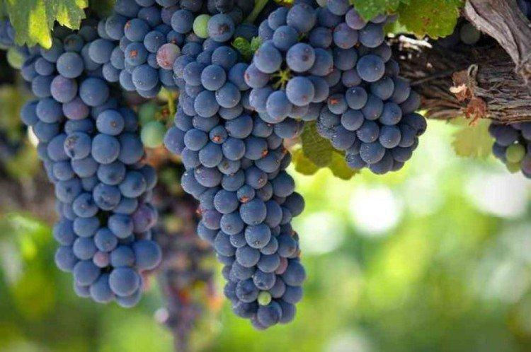 Зилга - Ранние сорта винограда