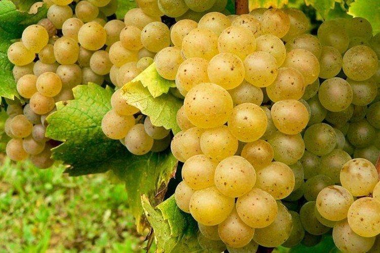 Алиготе - Сорта винограда среднего срока созревания