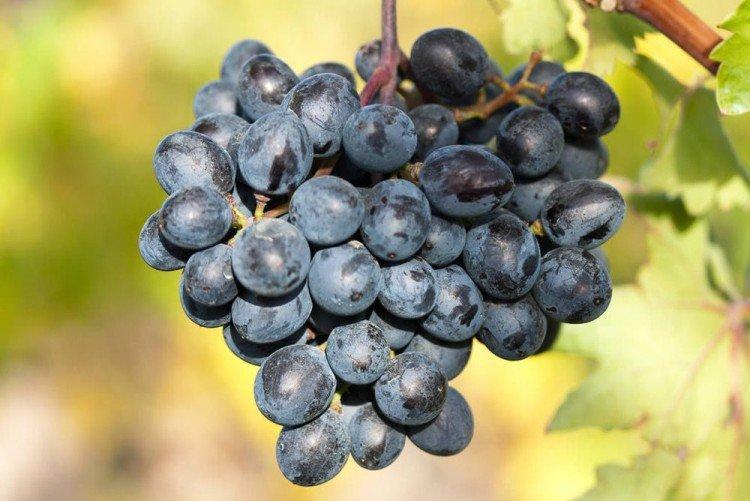Армения - Сорта винограда среднего срока созревания