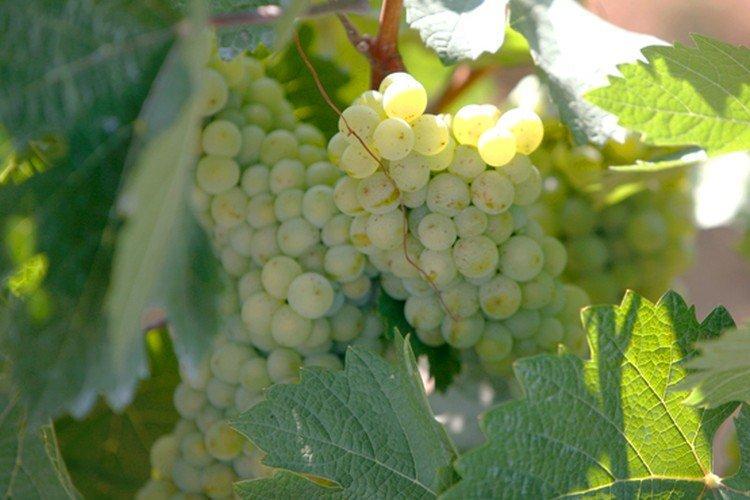 Галан - Сорта винограда среднего срока созревания