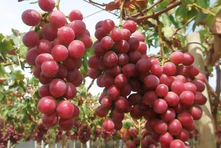 Ред Глоуб - Поздние сорта винограда