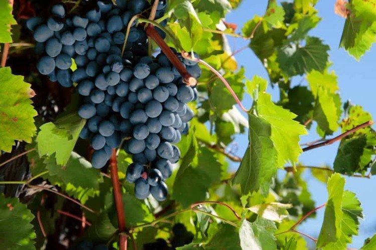 Дачный - Поздние сорта винограда