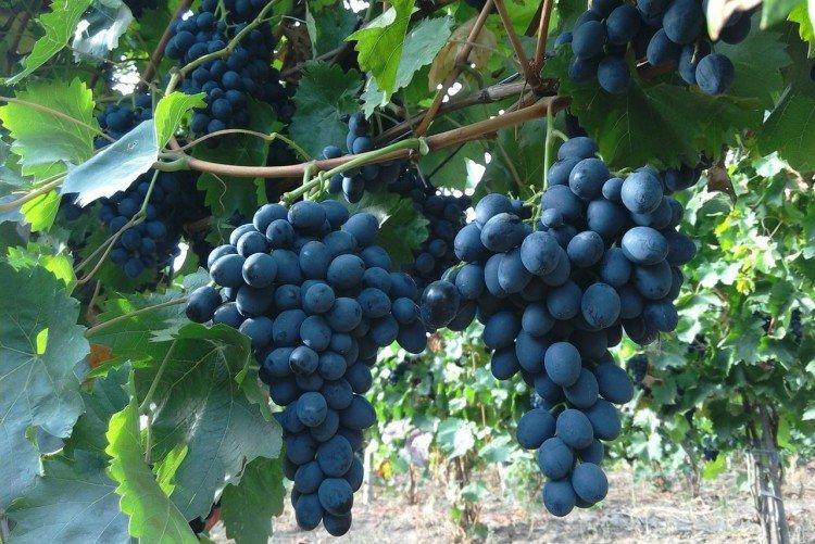 Молдова - Поздние сорта винограда