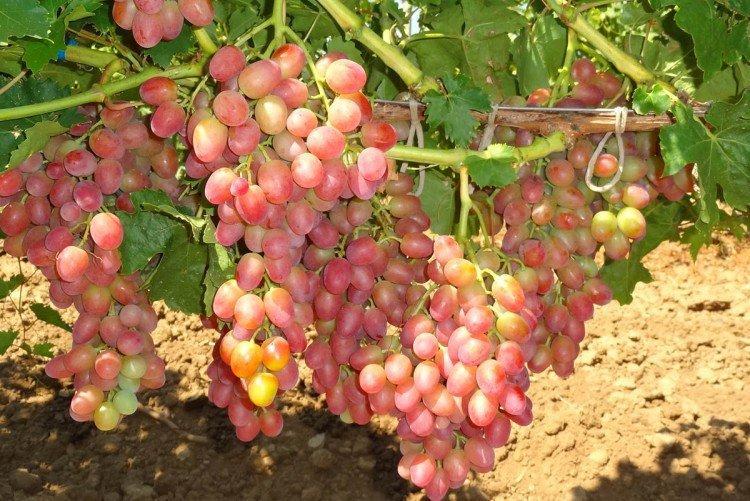 Анюта - Поздние сорта винограда