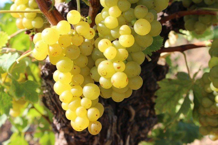 Мускат бессарабский - Винные сорта винограда