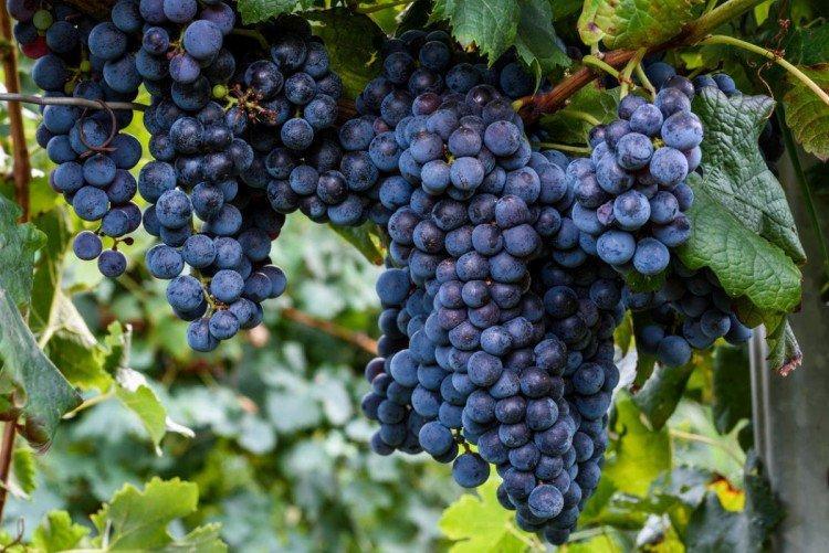 Изабелла - Винные сорта винограда