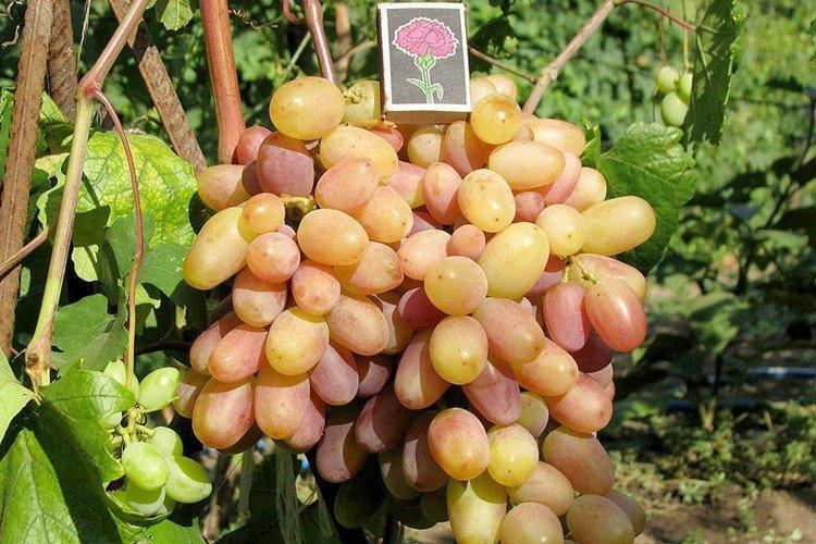 Виктор - Винные сорта винограда