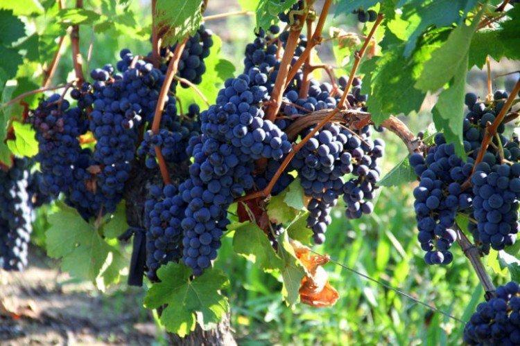 Мерло - Винные сорта винограда