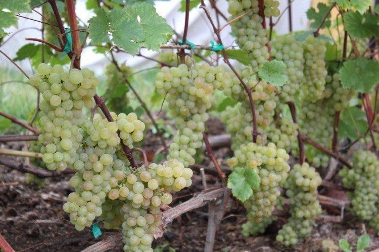 Кристалл - Винные сорта винограда