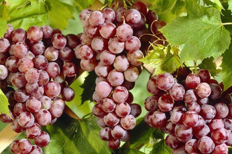 Спулга - Лучшие сорта винограда для Ленинградской области