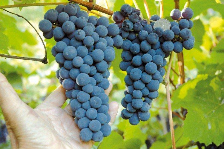 Амурский - Лучшие сорта винограда для Ленинградской области
