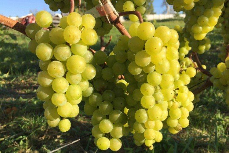 Белый жемчуг - Лучшие сорта винограда для Ленинградской области