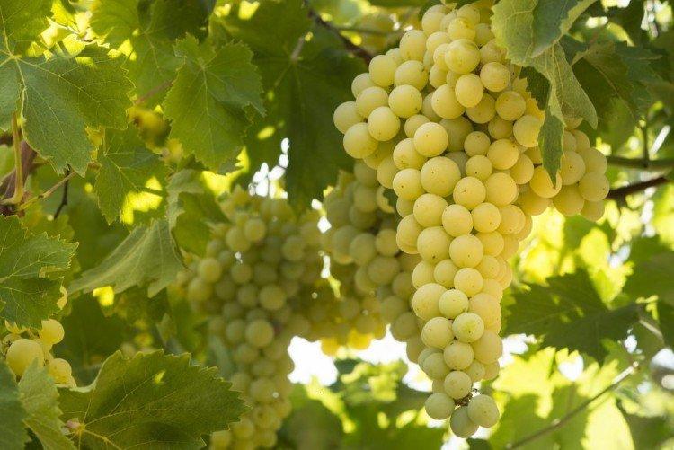 Солярис - Лучшие сорта винограда для Ленинградской области