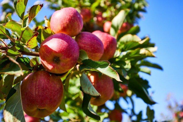 Квинти - Летние сорта яблонь