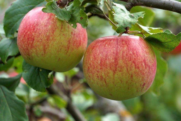 Мантет - Летние сорта яблонь