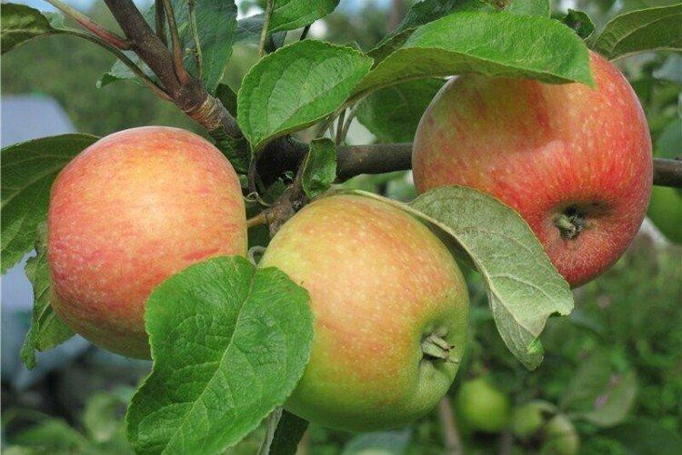 Конфетное - Летние сорта яблонь