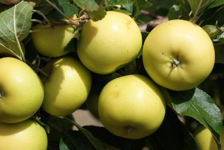 Ананас бержининку - Осенние сорта яблонь