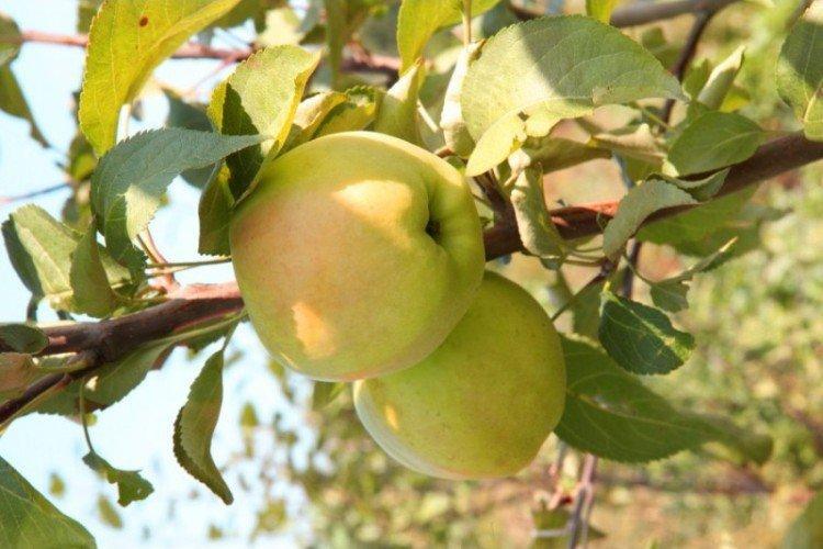 Дачное - Осенние сорта яблонь
