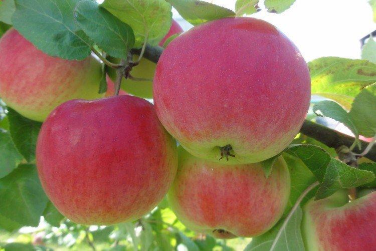 Деликатес - Осенние сорта яблонь
