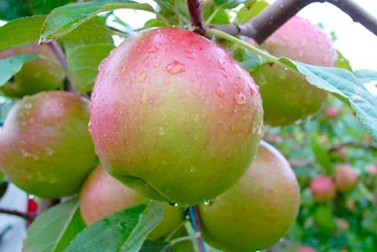 Анис свердловский - Осенние сорта яблонь