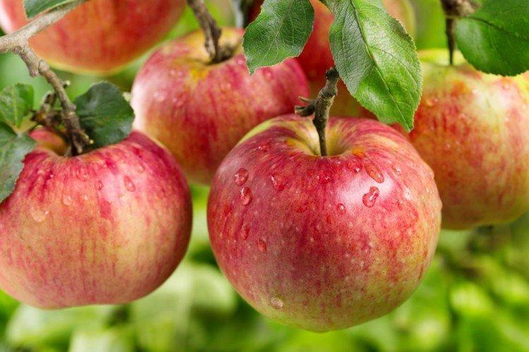 Ауксис - Осенние сорта яблонь