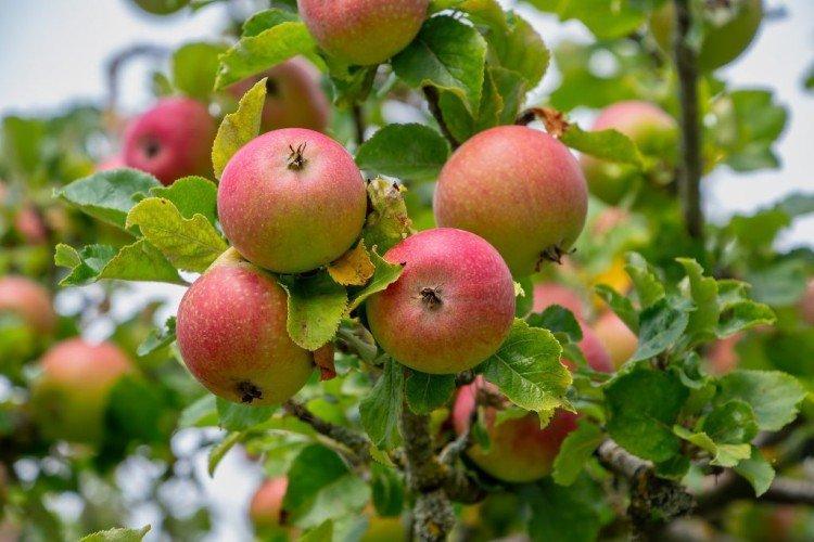 Грушовка - Лучшие сорта яблонь для Урала и Сибири