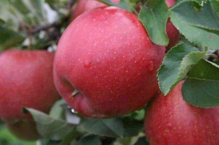 Катя - Лучшие сорта яблонь для Урала и Сибири