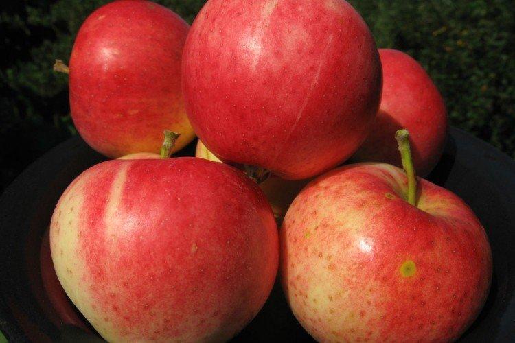 Старк Эрлиест - Лучшие сорта яблонь для Урала и Сибири