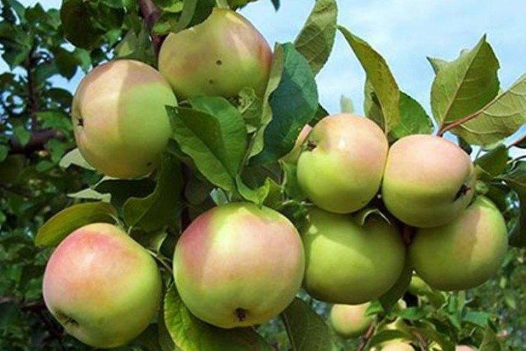 Кутузовец - Лучшие сорта яблонь для Урала и Сибири