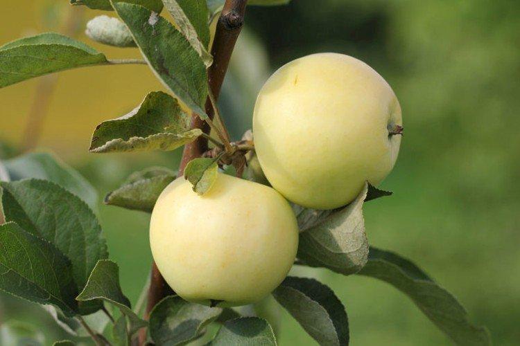 Белый налив - Летние сорта зеленых яблонь
