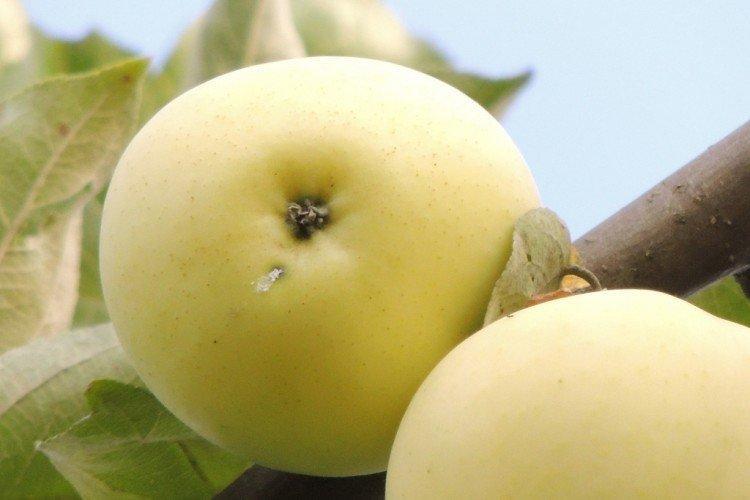 Летнее белое - Летние сорта зеленых яблонь