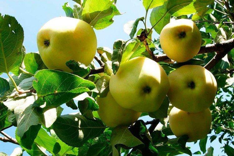 Солнце белое - Летние сорта зеленых яблонь