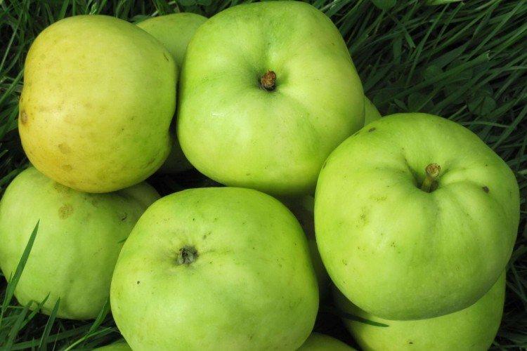Антоновка - Осенние сорта зеленых яблонь