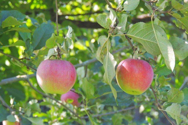 Слава Победителям - Осенние сорта зеленых яблонь