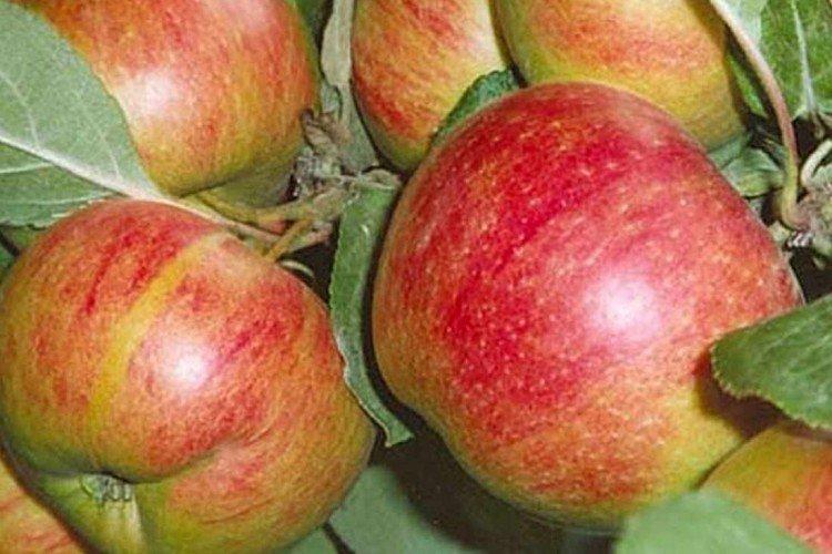 Коричное новое - Осенние сорта зеленых яблонь